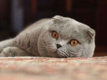 Kot szkocki zwisłouchy - Scottish Fold cat