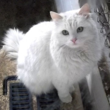 Kot Turecka Angora - Turkish Angora Cat (TUA)