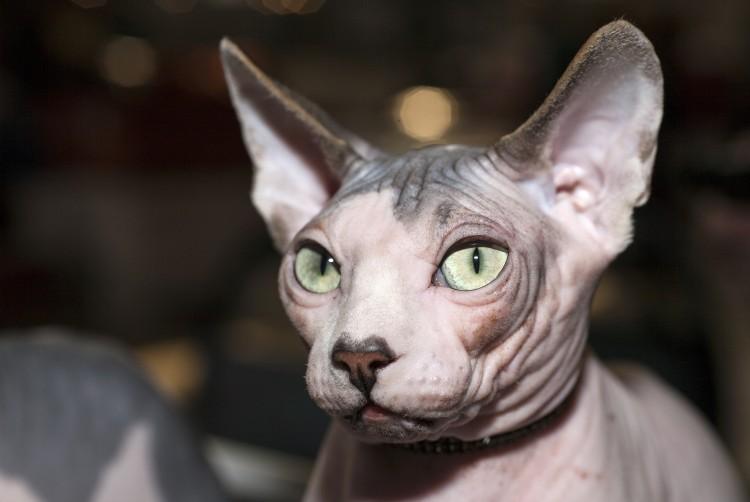 Sfinks Kot Księżycowy Canadian Sphynx Sph Rasy Kotów