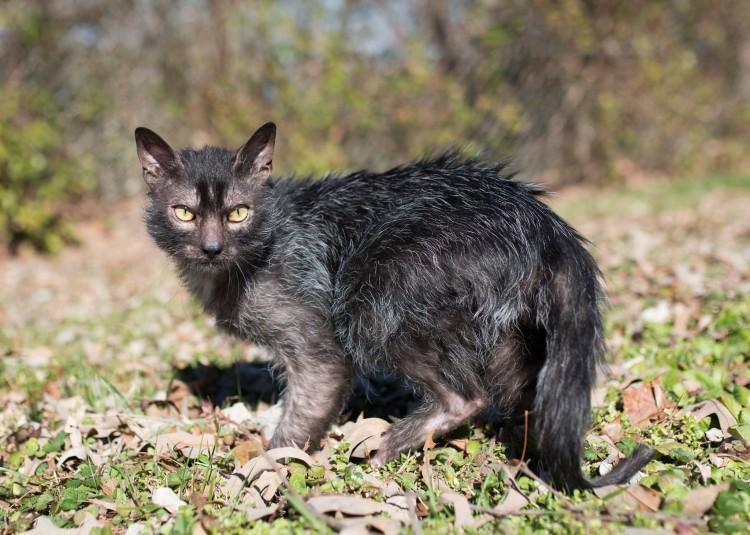 Kot Wilkołak Lykoi Cat Rasy Kotów Twojezwierzakiorg