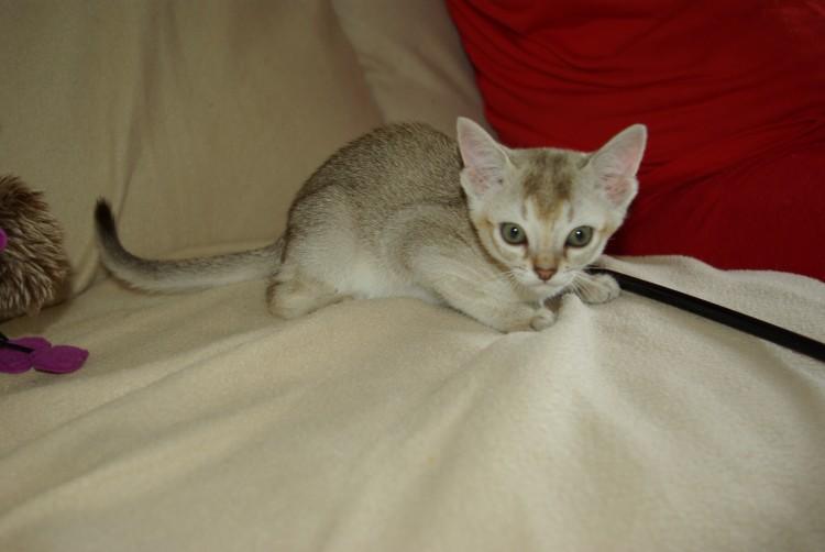 Kot Singapurski Singapura Cat Sin Rasy Kotów Twojezwierzakiorg