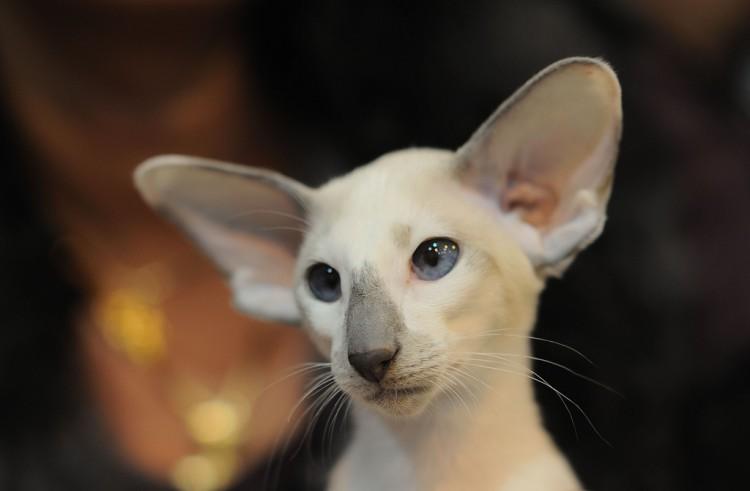 Kot Seszelski Seychellois Cat Sys Syl Rasy Kotów