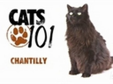 Kot rasy Chantilly - CATS 101