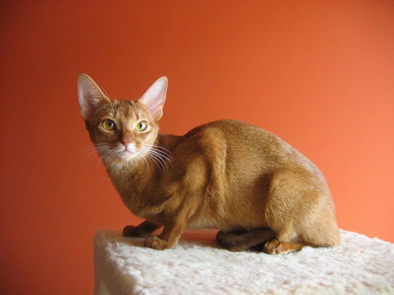 Kot Abisyński Abyssinian Cat Aby Rasy Kotów Twojezwierzakiorg