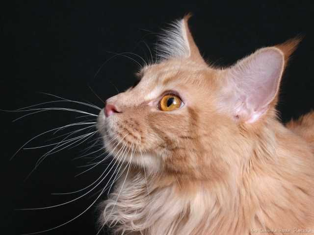 Maine Coon (MCO)