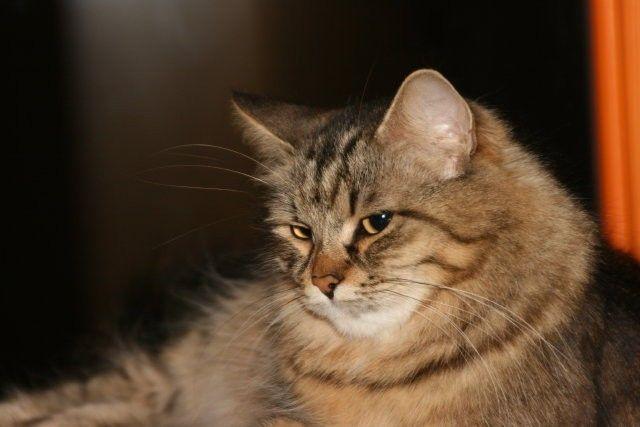 Kot Syberyjski Siberian Cat Sib Rasy Kotów Twojezwierzakiorg