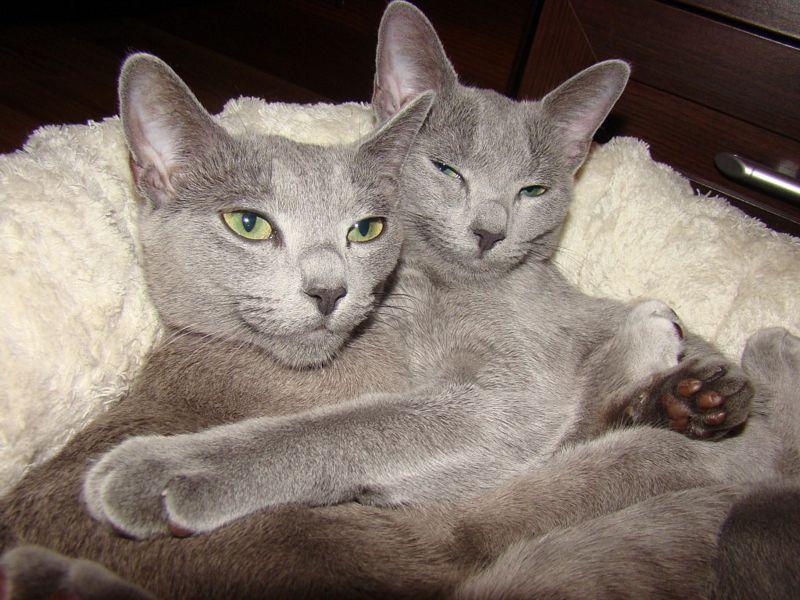 Dlaczego Kochamy Nowe Rasy Kotów Twojezwierzakiorg